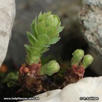 Im Frühjahr treibt die Rosenwurz (Rhodiola rosea) aus dem Wurzelstock neu aus (hier eine junge Pflanze).