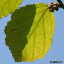 Zaubernuss (Hamamelis virginiana), Blatt