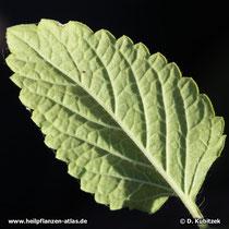 Melisse (Melissa officinalis), Blattunterseite