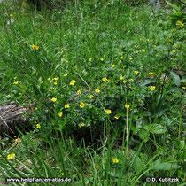Blutwurz (Potentilla erecta) im lichten Wald in den bayerischen Voralpen
