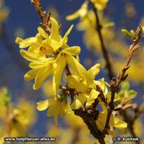 Hänge-Forsythie (Forsythia suspensa) Blüten