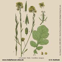 Schwarzer Senf, Brassica nigra, Historisches Bild