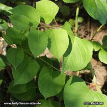 Japanischer Staudenknöterich (Buschknöterich, Reynoutria japonica, syn. Polygonum cuspidatum)