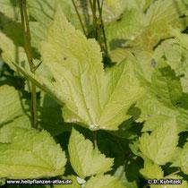 Traubensilberkerze (Actaea racemosa, Synonym: Cimicifuga racemosa), Blätter