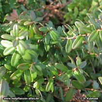 Cranberry (Vaccinium macrocarpon), Zweige