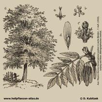 Gewöhnliche Esche; Fraxinus excelsior; Historisches Bild