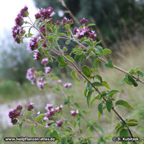 Gewöhnlicher Dost (Origanum vulgare), Standort auf einer Böschung am Fluss Isar in Oberbayern