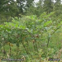 Tollkirsche (Atropa belladonna), Standort