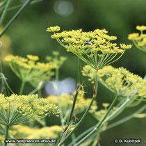Fenchel (Foeniculum vulgare ssp. vulgare), Blütenstand