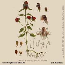 Gewöhnliche Braunelle, Prunella vulgaris, Historisches Bild