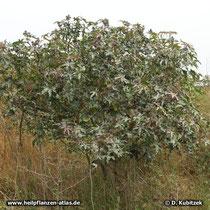 Rizinus (Ricinus communis) wächst bis drei Meter hoch.