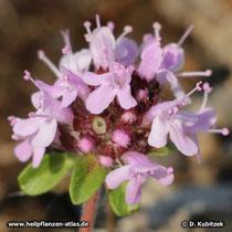 Quendel (Thymus serpyllum), Blütenstand