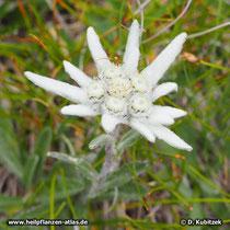 Alpen-Edelweiß (Leontopodium nivale subsp. alpinum), noch nicht aufgeblüht