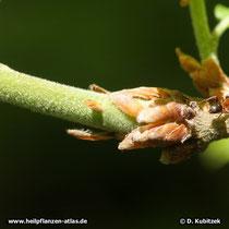 Junge Äste, Blatt-Knospen und Blatt-Stiele der Flaum-Eiche (Quercus pubescens) sind filzig behaart.