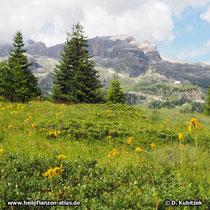 Arnika (Arnica montana) auf einer Bergwiese in den Dolomiten (Italien) auf rund 2.100 m Höhe.