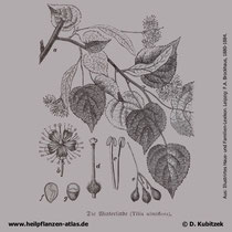 Winterlinde; Tilia cordata; historische Grafik