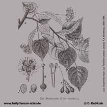 Winterlinde, Tilia cordata, Historisches Bild