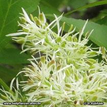 Blumen-Esche Blülten