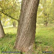 Bruch-Weide (Salix fragilis),  Rinde und Standort