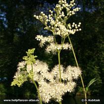 Echtes Mädesüß (Filipendula ulmaria), Blütenstand