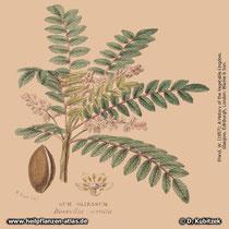 Indischer Weihrauch (Boswellia serrata)