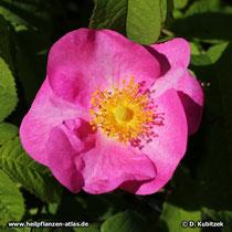 Essig-Rose (Rosa gallica), Blüte