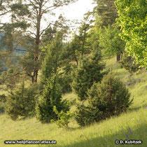 """Gewöhnlicher Wacholder (Juniperus communis) wächst hier auf einer """"Wacholderheide"""""""