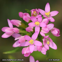 Echtes Tausendgüldenkraut (Centaurium erythraea), Blüten