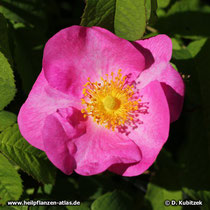 Rose (Essig-Rose, Rosa gallica)