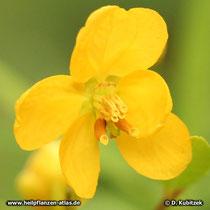 Sennes (Senna alexandrina), Glüte
