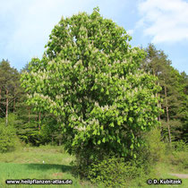 Rosskastanie (Aesculus hippocastanum), Wuchsform