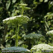 Zahnstocher-Ammei (Ammi visnaga), Blütenstände