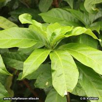 Kolabaum (Cola acuminata), Blätter