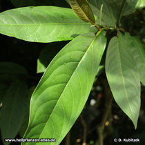 Langer Pfeffer (Piper longum), Blätter