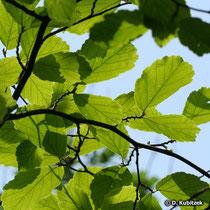 Zaubernuss Blätter