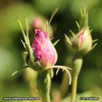 Rosa x damascena f. trigintipetala (Bulgarische Ölrose), Blütenknospen
