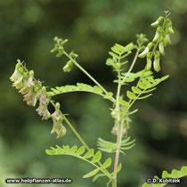 Chinesischer Tragant (Astragalus mongholicus), blühender Zweig
