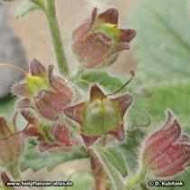 Klebriger Chinafingerhut (Rehmannia glutinosa), Früchte