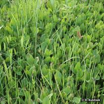 Fieberklee (Menyanthes trifoliata), in einer Feuchtwiese Uferrand eines oberbayerischen Sees