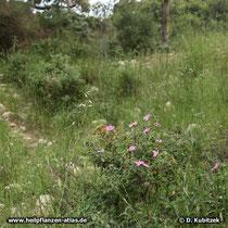 Kretische Zistrose (Cistus creticus), Standort, hier auf dem Berg Karmel in Israel.