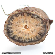 Querschnitt durch die Wurzel des Blassen Sonnenhuts (Echinacea pallida).
