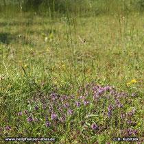 Standort: Hier wächst der Quendel auf einer Heide bei München.