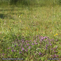 Standort: Hier wächst der Quendel (Thymus serpyllum) auf einer Heide bei München.
