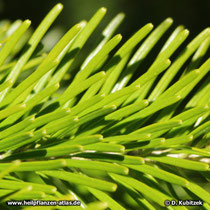 Sibirische Tanne (Abies sibirica), Nadeln Oberseite