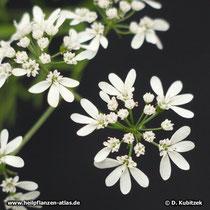 Koriander (Coriandrum sativum), Blüten