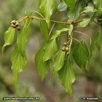 Gewöhnlicher Efeu(Hedera helix): Blattform an fruchtenden Zweigen