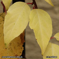 Schisandra Laubfärbung im Herbst