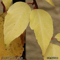 Schisandra chinensis, Laubfärbung im Herbst