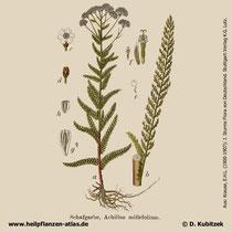 Gewöhnliche Schafgarbe, Achillea millefolium, Historisches Bild