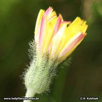 Kleines Habichtskraut (Hieracium pilosella), Unterseite des Blütenkorbs mit einzelnen außen liegenden rötlichen Zungenblüten